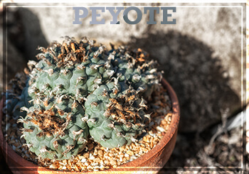 The drug processed from peyote is mescaline
